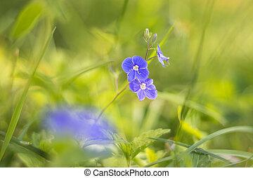 květ, divoký, překrásný, rozrazil, -, chamaedrys