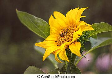 květ, mladický list, slunečnice, opylit, pracovní skupina