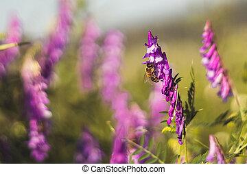 květ, nach, včela, vicia, bojiště, květiny