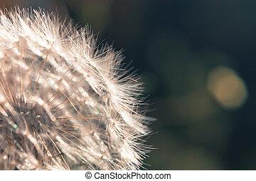 květ, neposkvrněný, up, názor, pampeliška, -, uzavřít