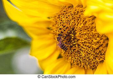 květ, opylit, slunečnice, pracovní skupina