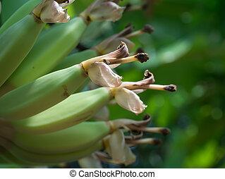 květ, podoba, up, filiálka, dary, uzavřít, banán