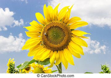 květ, pracovní skupina, slunečnice