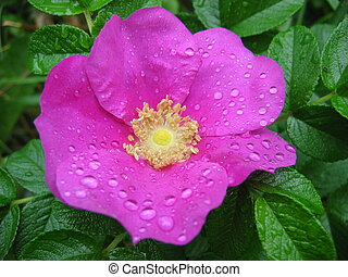 květ, rosa