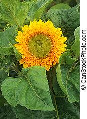 květ, zbabělý, zahrada, slunečnice, -, big