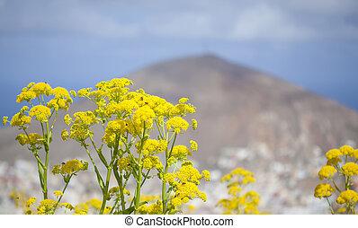 květena, -, gran canaria, ferula, linkii