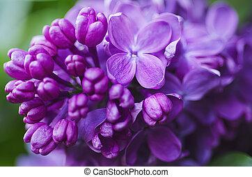 květiny, šeřík, grafické pozadí