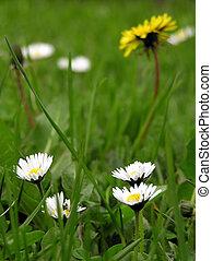 květiny, a, pastvina