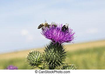 květiny, bodlák, včela