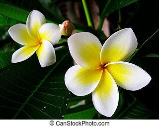 květiny, frangipane