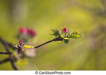 kvetoucí, jablko, rašit, strom, virgule