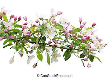 kvetoucí, jabloň, filiálka