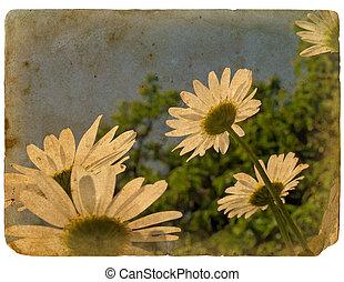 kvetoucí, květiny, chamomile., dávný, postcard.