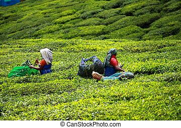 kvinna, plockning, te leaves, in, a, te plantering, munnar,...