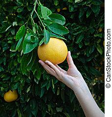 kvinna räcka, mogen, grapefrukt