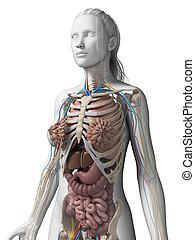 kvinnlig, anatomi