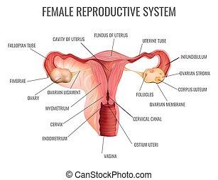 kvinnligt reproducerande system