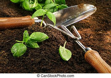 kvister, av, basilika, snitt, från, den, trädgård