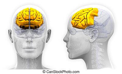 kwab, frontaal, -, vrijstaand, anatomie, hersenen, vrouwlijk...