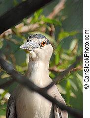 Kwakwa - bird of Heron - Kwakwa - bird of Ardeidae -...