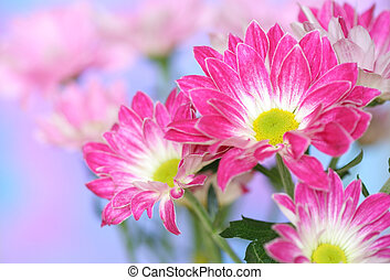 kwiat, chryzantema, szczelnie-do góry