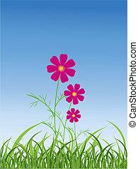 kwiat kosmei