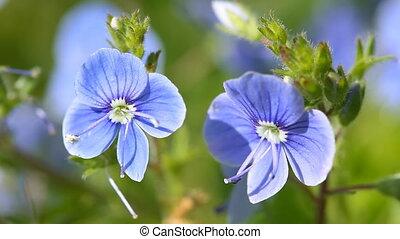 kwiat, kwiaty, błękitny, veronica