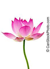 kwiat, lotos, izolować, tło., rozkwiecony, biały