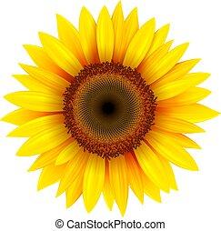 kwiat, odizolowany, słonecznik