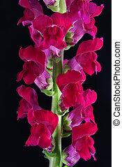 kwiat, odizolowany, (snapdragon), czarnoskóry, szkarłat, ...