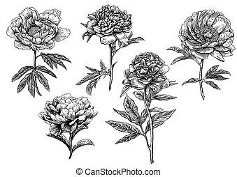 kwiat, piwonia, ilustracja, rysunek, zbiór, rytownictwo, ...