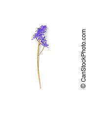 kwiat, purpurowy, wiosna, odizolowany, tło, biały
