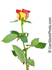 kwiat, róża, żółte tło, biały czerwony