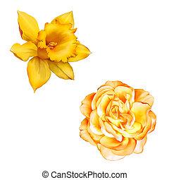 kwiat, róża, żonkil, odizolowany, żółte tło, narcyz, biały, albo