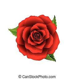 kwiat, róża, górny, odizolowany, wektor, biały czerwony, prospekt