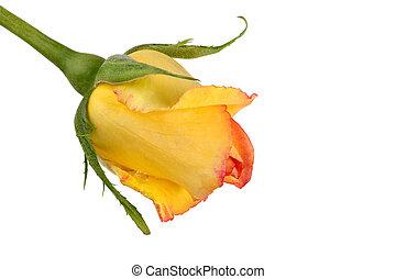 kwiat, róża, odizolowany, żółte tło, biały