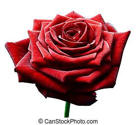 kwiat, róża, odizolowany, tło, biały czerwony