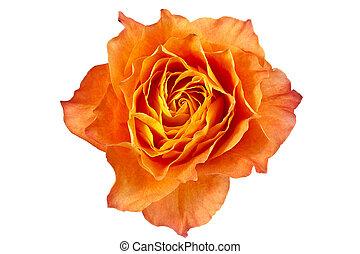 kwiat, róża, wizerunek, do góry, pomarańcza, zamknięcie