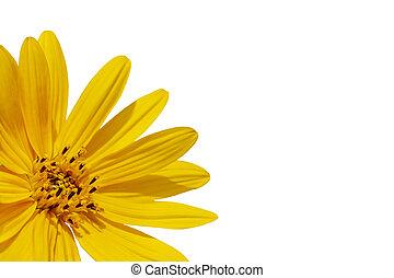 kwiat, słonecznik, na, -, odizolowany, żółty, tło., róg, biały