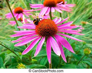 kwiat, stożek, field., echinacea