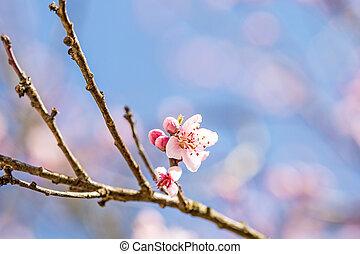 kwiat, wiosna, niemcy, brzoskwinia