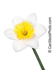 kwiat, wiosna, odizolowany, tło, narcyz, biały