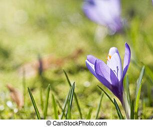 kwiat, wiosna, płytki, do góry, krokus, głębokość, świeży, makro, zamknięcie