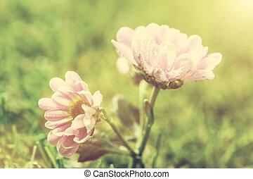 kwiat, wiosna, rocznik wina, light., słońce, świeży