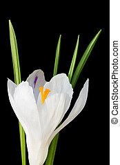 kwiat, wizerunek, do góry, krokus, czarne tło, zamknięcie, biały