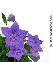kwiatowy, purpurowy, biały, brzeg
