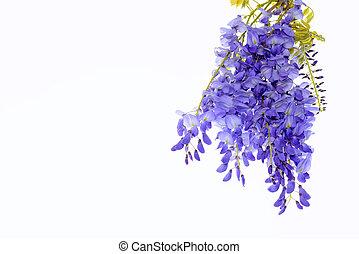 kwiatowy, wisteria, kwiaty, projektować, element.