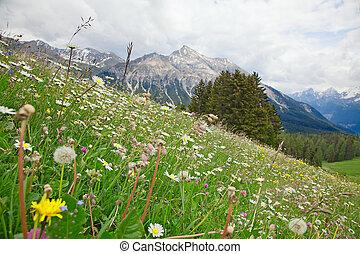 kwiaty, alpejski