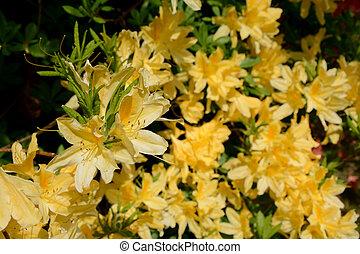 kwiaty, azalia, żółty