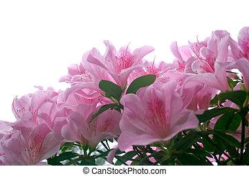 kwiaty, azalia